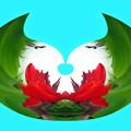 写真: カンナの花-03a