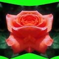 写真: 紅い花-02c