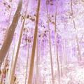 写真: 妙壽寺-09b竹林(1-3b)