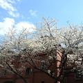 青空とレンガと桜