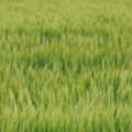 緑のウネリ