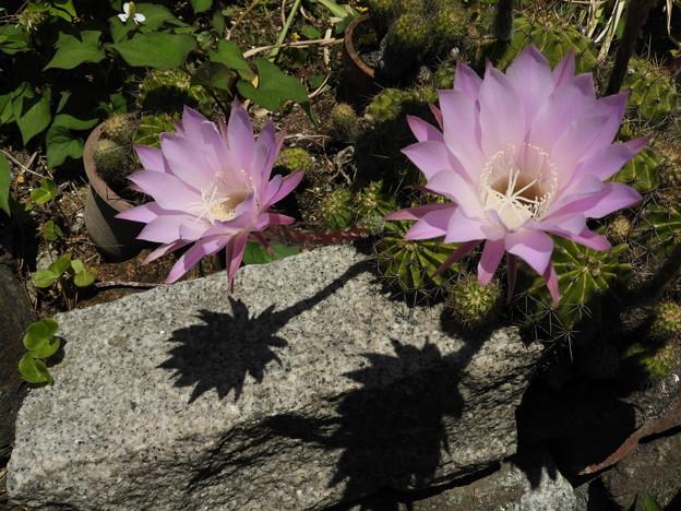 サボテン(短毛丸) の花