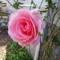 成長したバラ