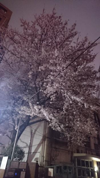 十中の夜桜