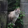 Photos: _170525 028 タヌキ系シャム猫ミックス