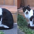 Photos: _170923 215 黒白鉢割れ猫