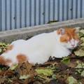 Photos: _171026 044 落ち葉と白茶トラ猫
