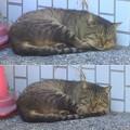 Photos: _171026 451 トラ猫 寝起き