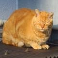 写真: _180115 077 茶トラ猫