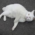 _180116 140 おでこ灰色の白猫
