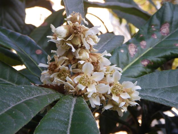 Photos: ビワの花PENTAX OPTIO W60 1140