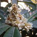 写真: ビワの花PENTAX OPTIO W60 1140