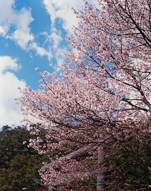 桜その10