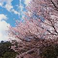 Photos: 桜その10