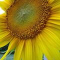 写真: 向日葵2