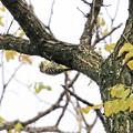 高い梢のコゲラ