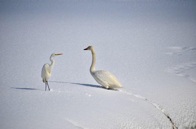 鷺と白鳥2