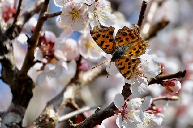 梅にキタテハ蝶