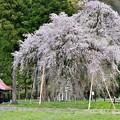 老木桜~おしらさま