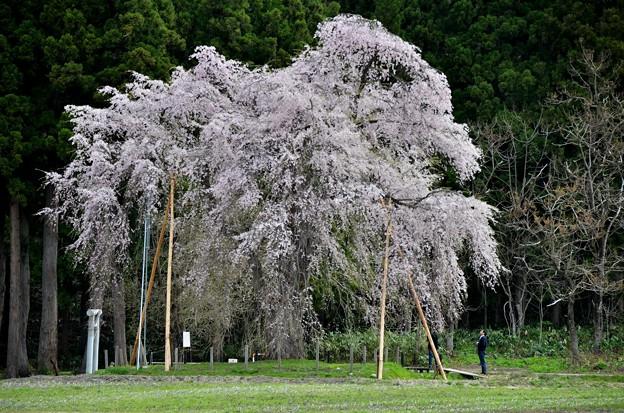 おしらさま~老木桜