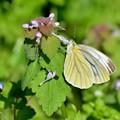 踊子草と蝶2