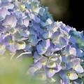紫陽花むらさき