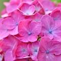 写真: 赤紫陽花