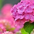 あか~紫陽花
