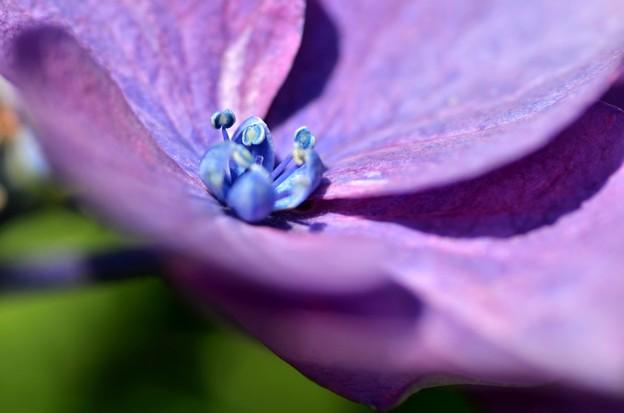 紫陽花~シベ
