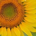 綺麗な向日葵
