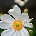 シュウウメイ菊