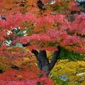 写真: モミジの木
