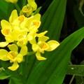 キンラン開花