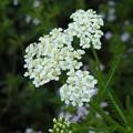 白い花(セイヨウノコギリソウ)