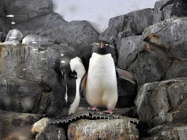 イワトビペンギン4