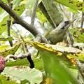 朴の木の実を啄みに