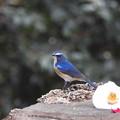写真: ルリオス成鳥