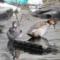ホシハジロ雌&アカハシハジロ雌