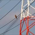 鉄塔とチョウゲンボウ