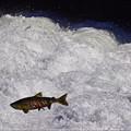 Photos: 鮭の遡上