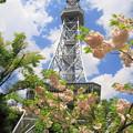 写真: 八重桜とテレビ塔