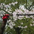 血染の桜?