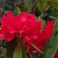 石楠花-1