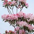 石楠花-2