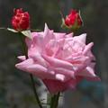 薔薇(室内)