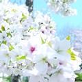 写真: 大島桜03