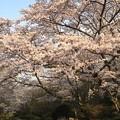 写真: 残照桜01