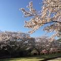 夕照桜02
