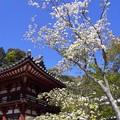 写真: 仁王門の桜:岡寺02