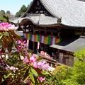 写真: 岡寺シャクナゲ10